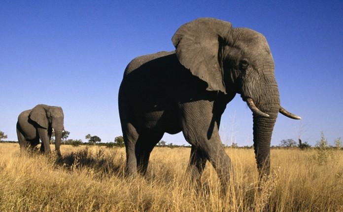 Tembo wa Africa - Mnyama Mkubwa Kuliko Wote wa Nchi Kavu Duniani