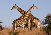 Twiga wa Afrika - Myama Mrefu Kuliko Wote Duniani